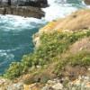 Les super-plantes: la criste marine